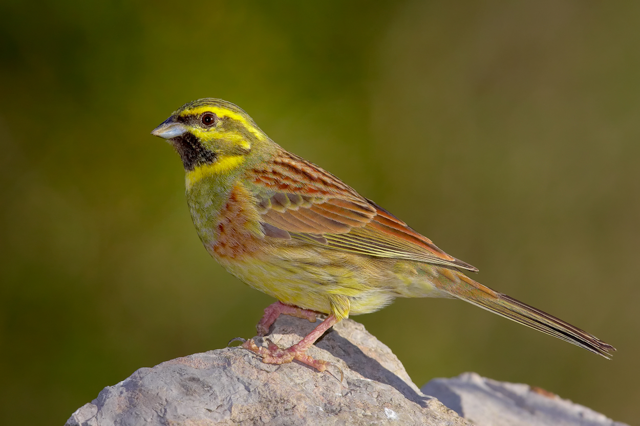 Emberiza cirlus -Valencian Community, Spain -male-8.jpg