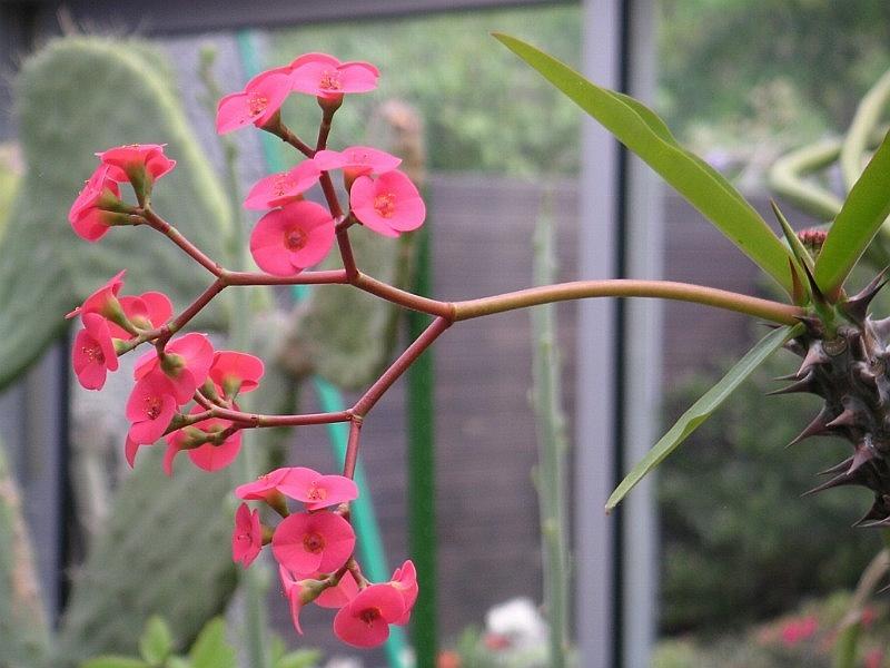 File:Euphorbia sp 01.jpg