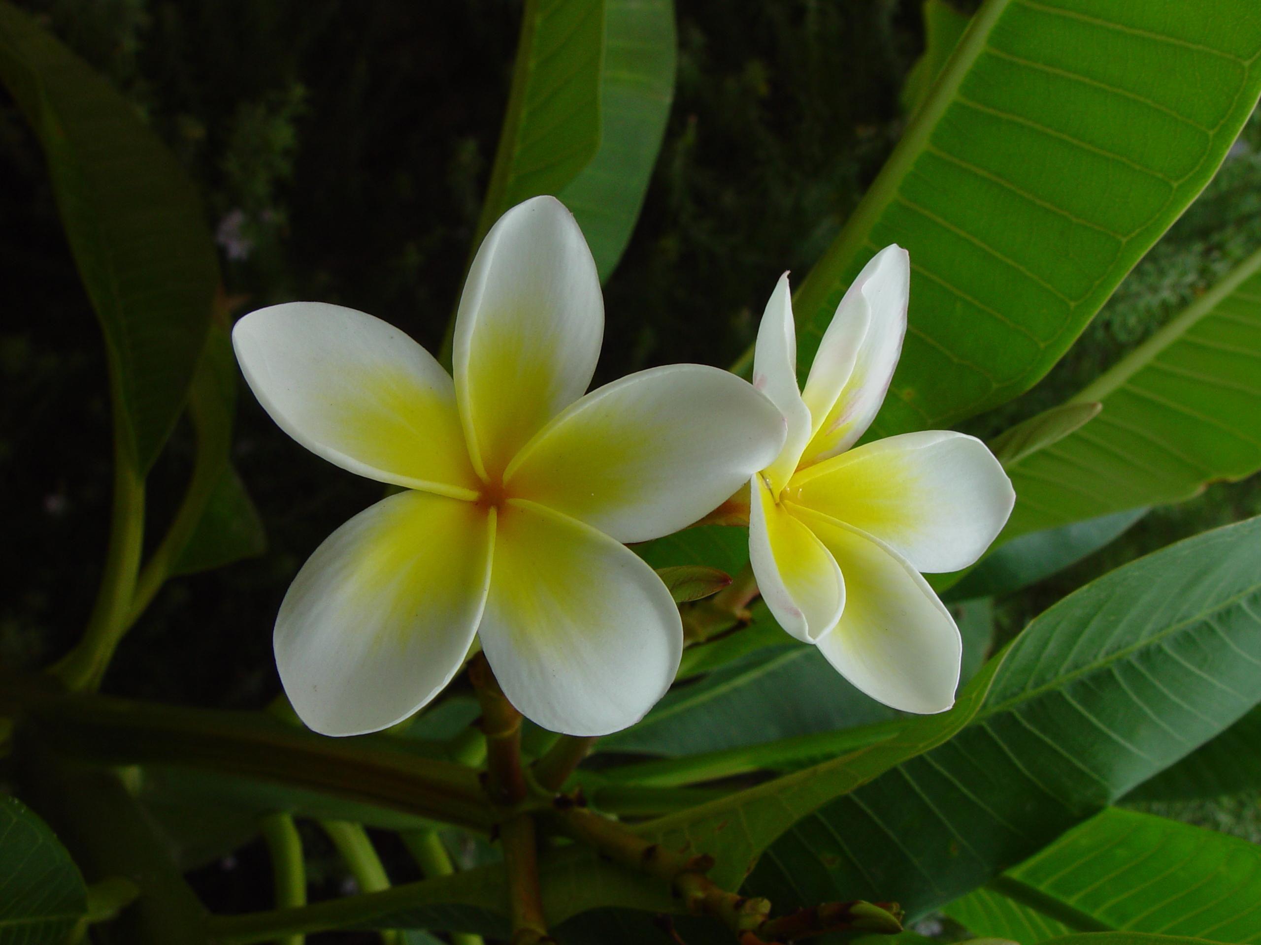 File Frangipani flower plumeria