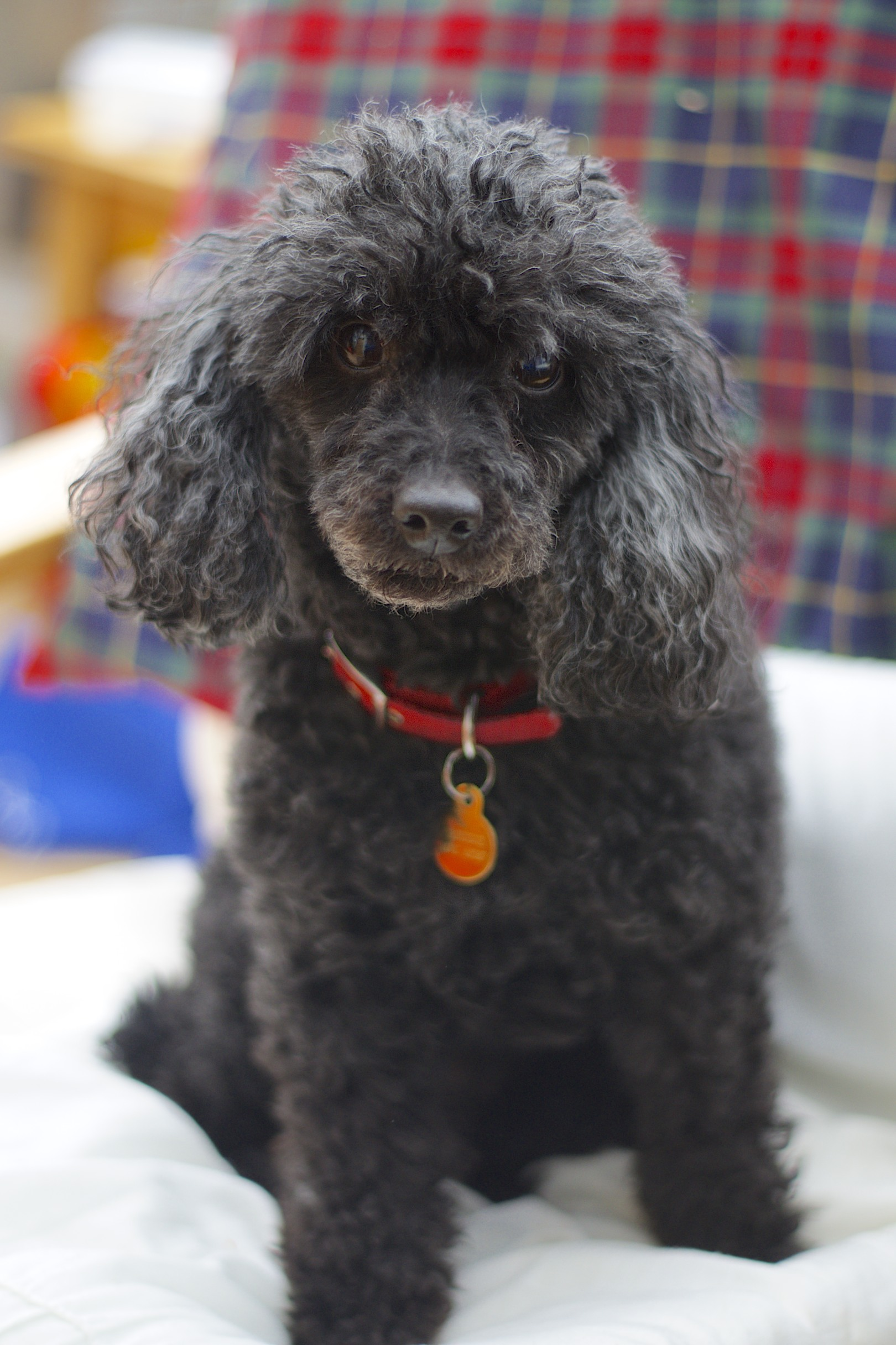Image Result For Standard Poodle Breeders