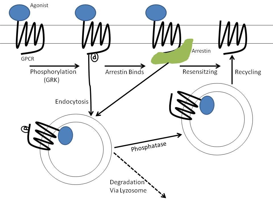 homologous desensitization