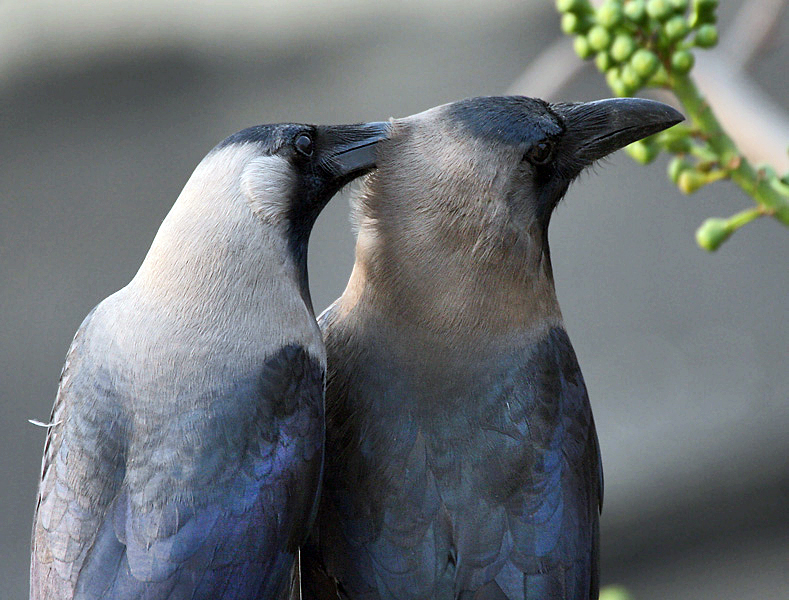 File:House Crows (Corvus splendens) grooming in Kolkata I IMG 4324.jpg