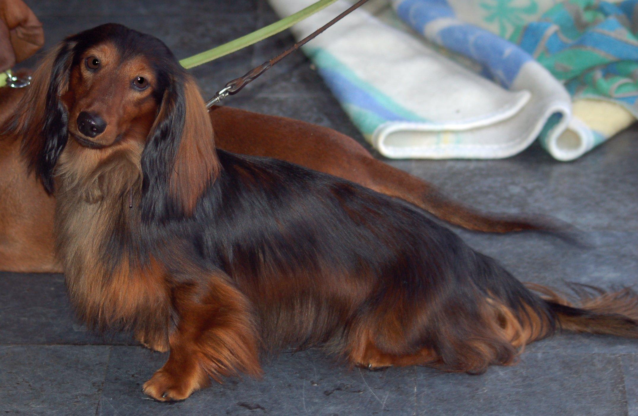 National Dog Show Number  Purse