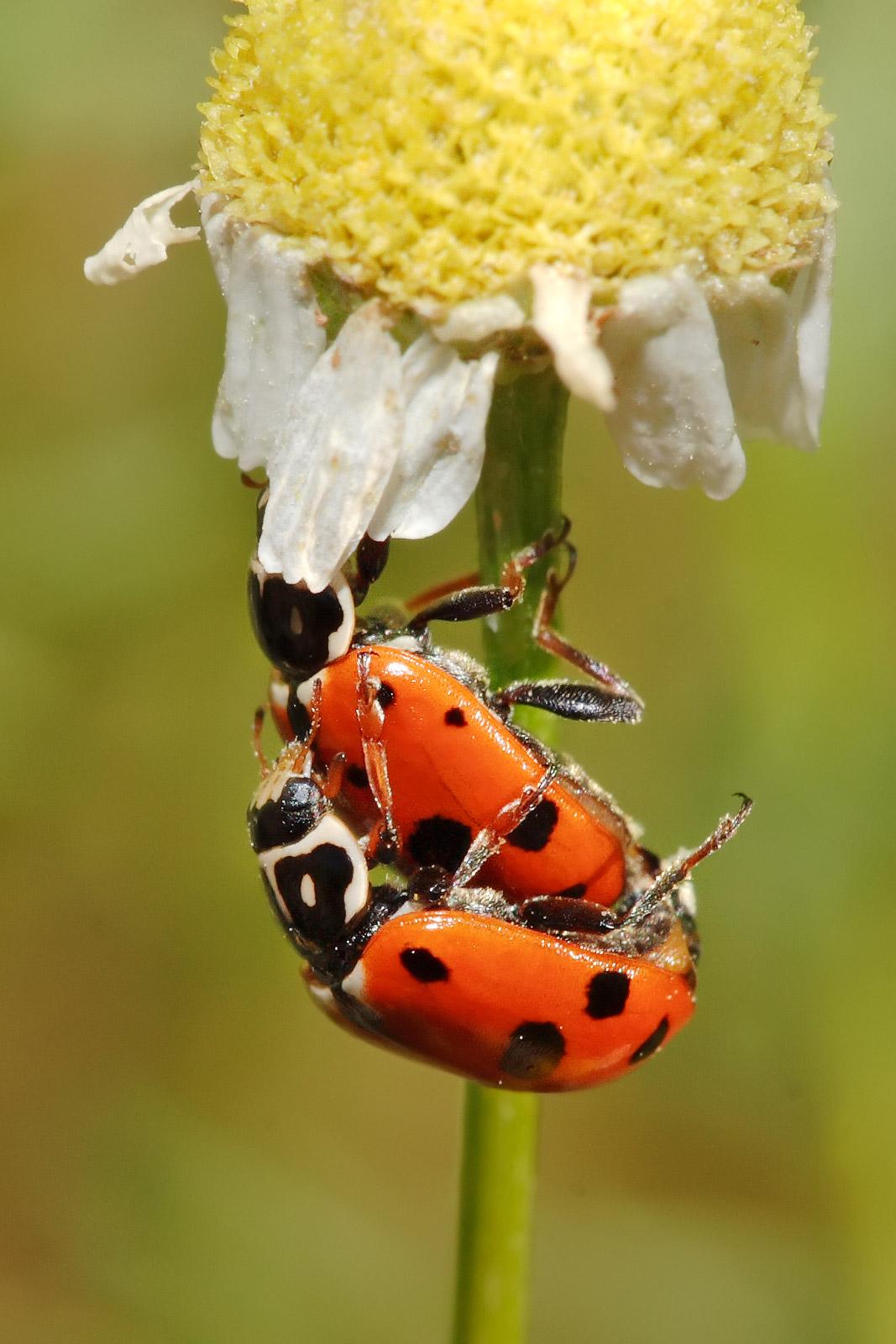 ladybirds - photo #31