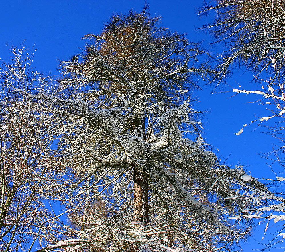 Wipfel einer alten Japanischen Lärche im Winter.