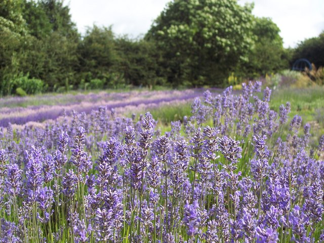Lavender fields at Terrington - geograph.org.uk - 494992
