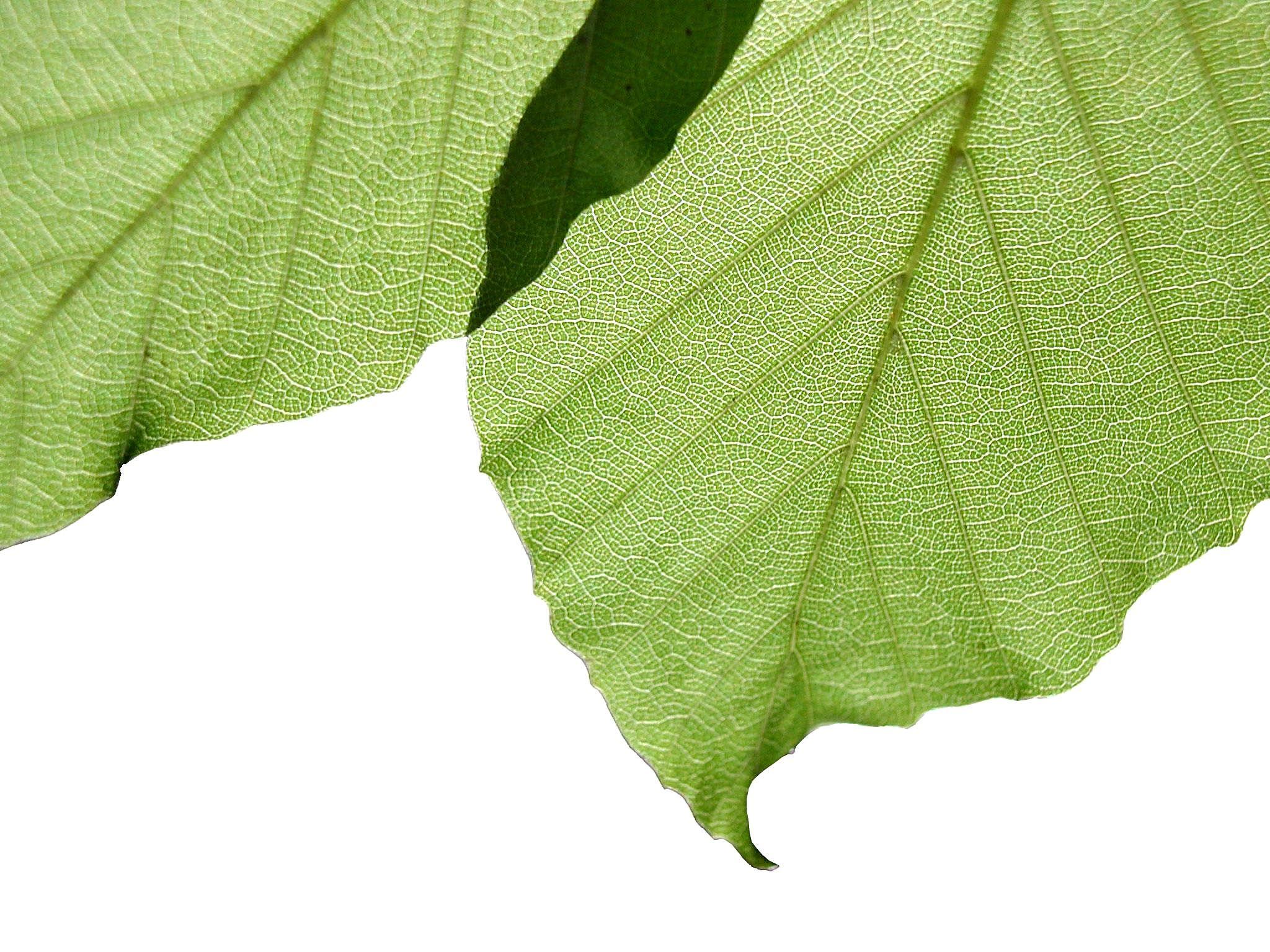 File:Leaves on white background.jpg - Wikimedia Commons