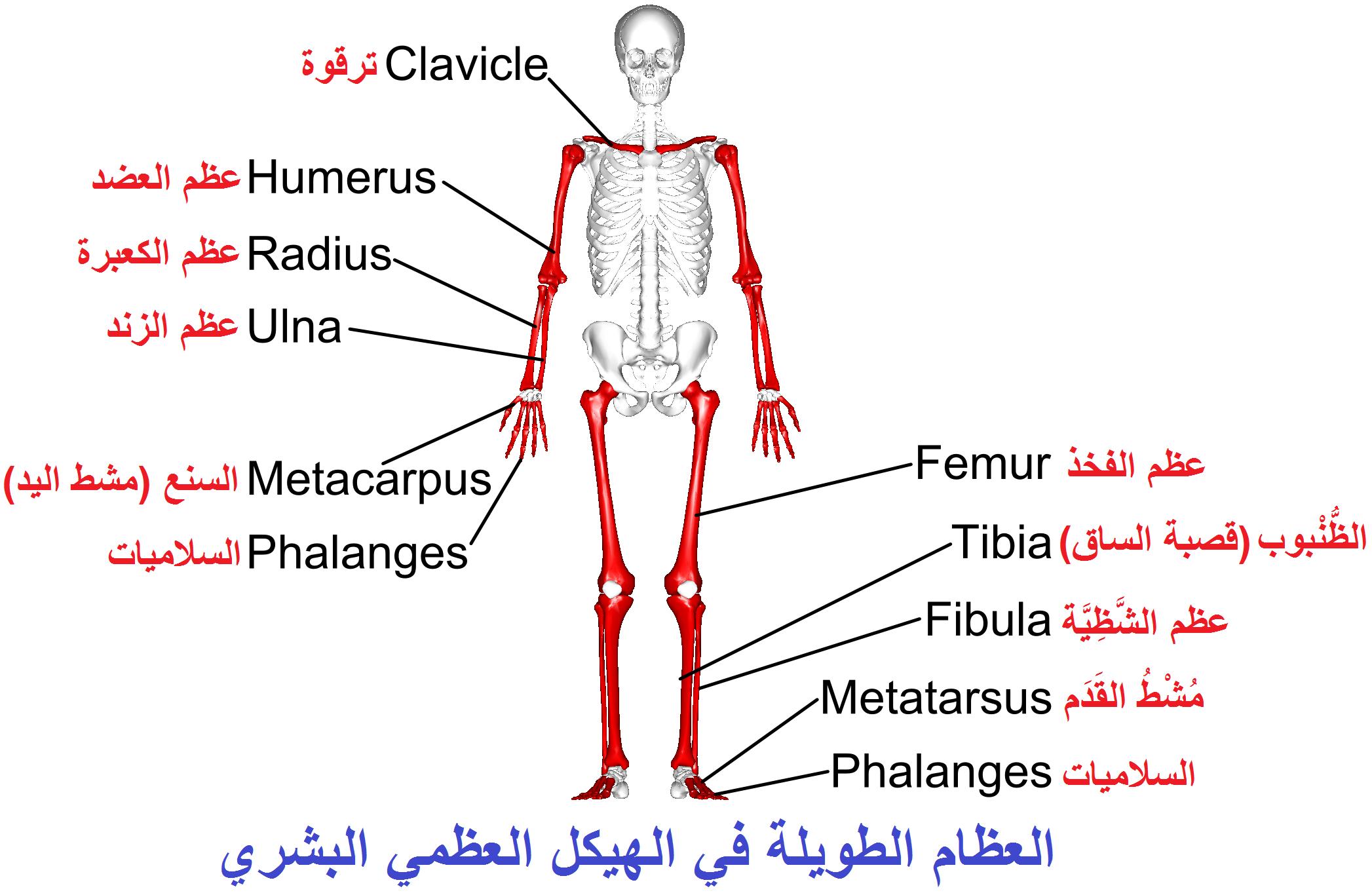 رد: صور اسماء اجزاء جسم الانسان باللغه الانجليزيه