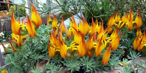File:Lotus berthelotii.JPG