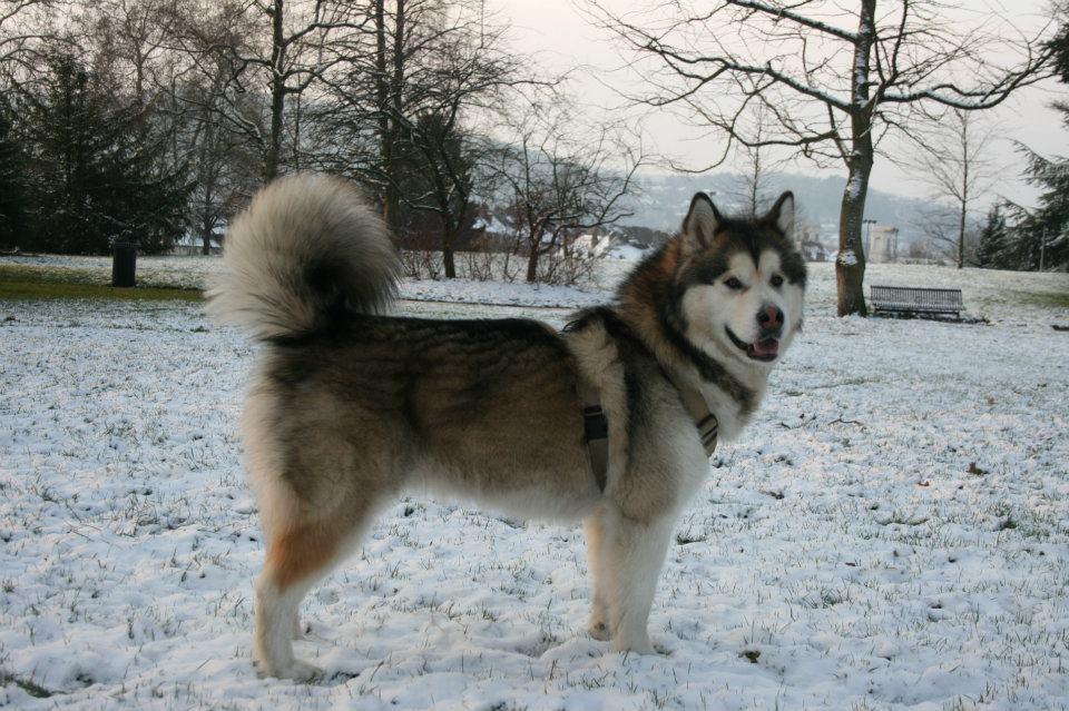 Husky Dogs For Sale Uk