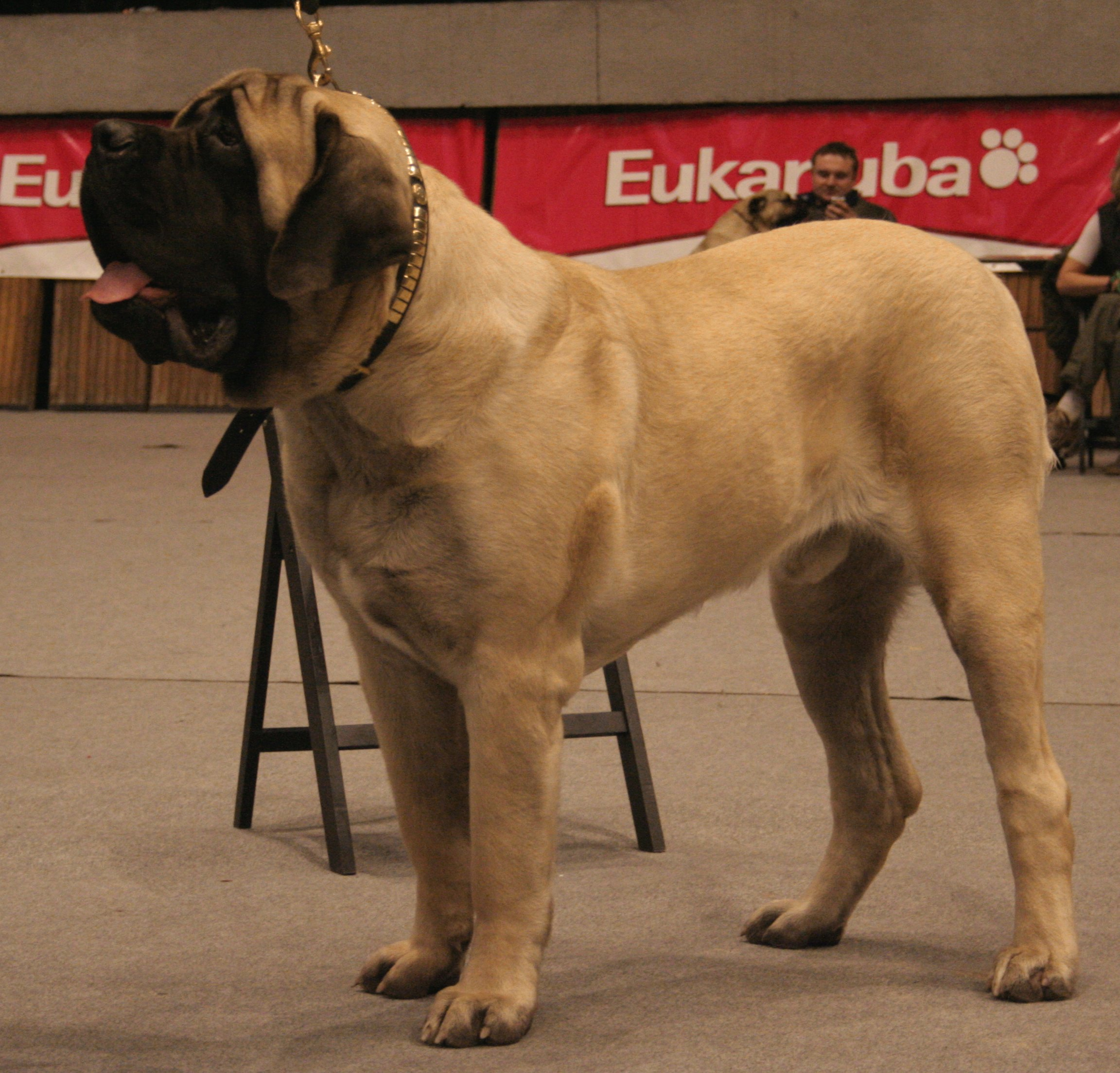 English Mastiff Dogs For Sale In Pa