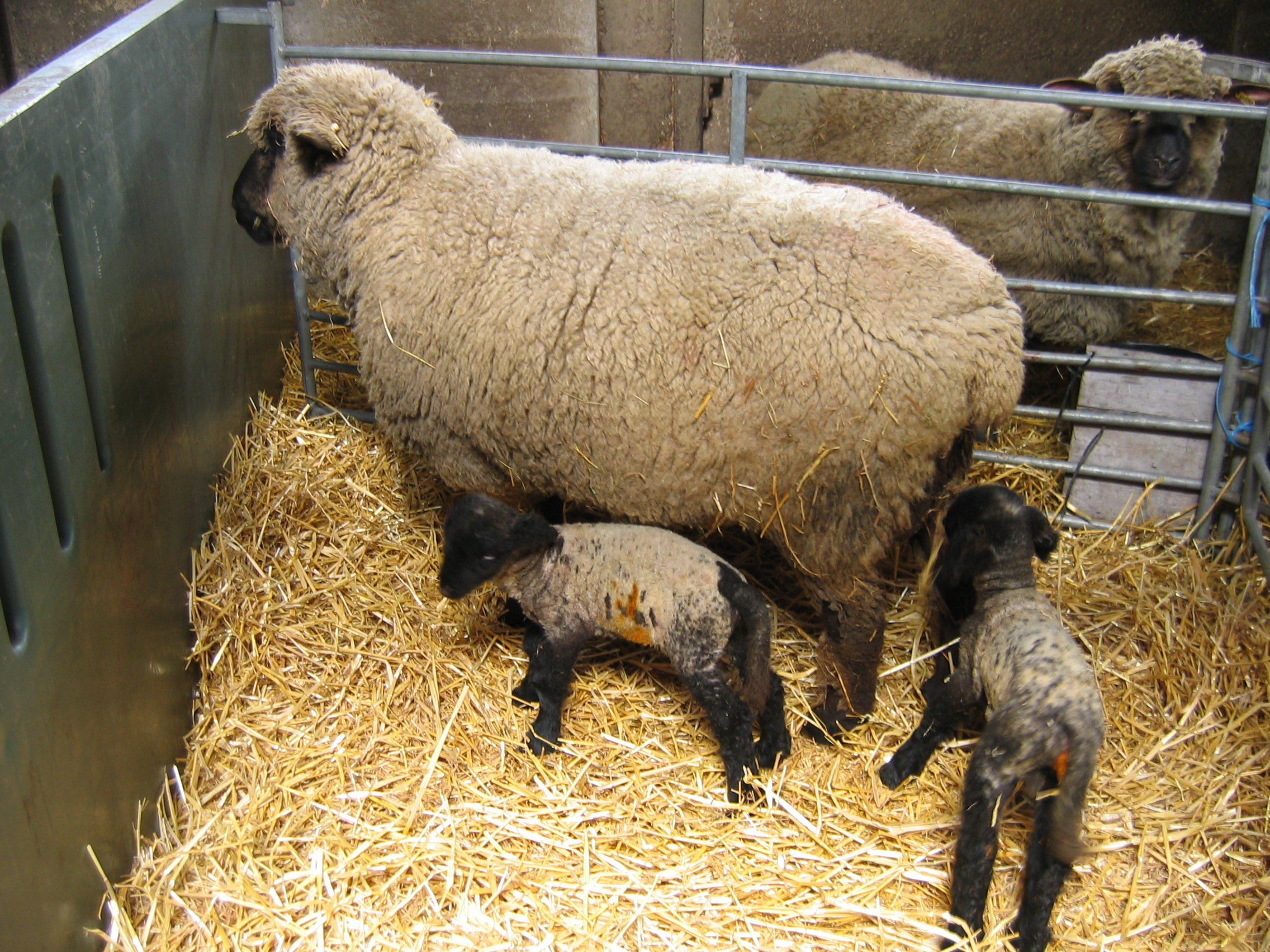 sheep farming Gerard dawn's sheep farming guide gerard dawn's sheep farming ebook is an amazing guide that goes into detail on starting a sheep farm gerard dawn's sheep farming ebook is now rated as one of the best sheep farming products on the market.