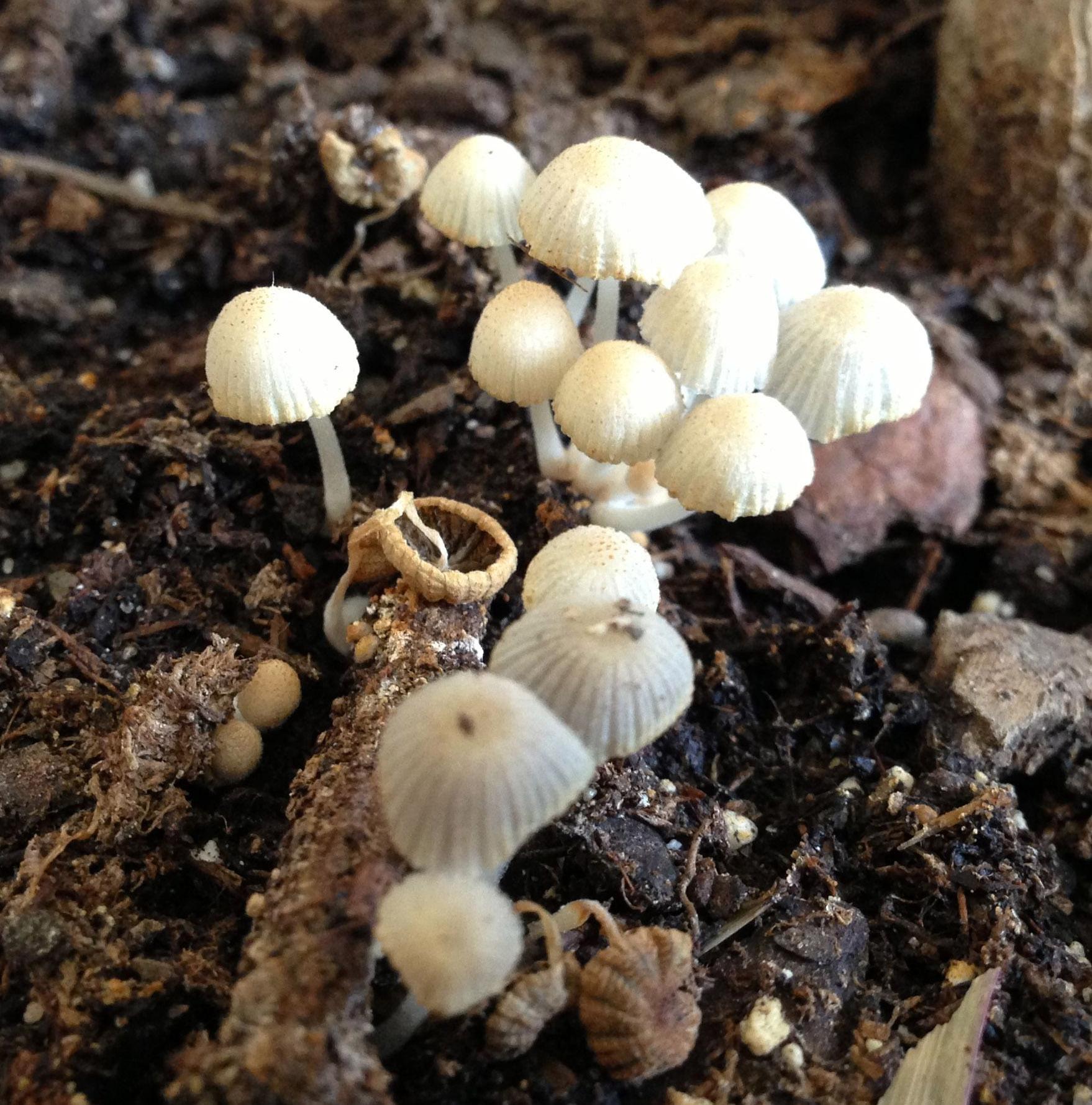 File mushrooms in potting wikimedia commons for Mushroom soil