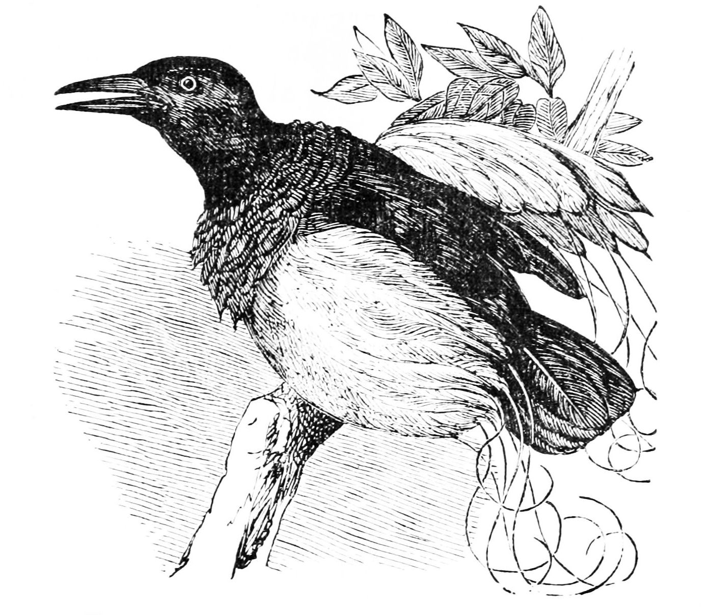 File:PSM V05 D585 Twelve wired paradise bird.jpg - Wikimedia Commons