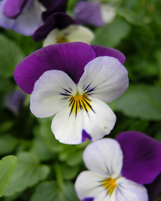 File Pansy Viola tricolor Flower 2448px