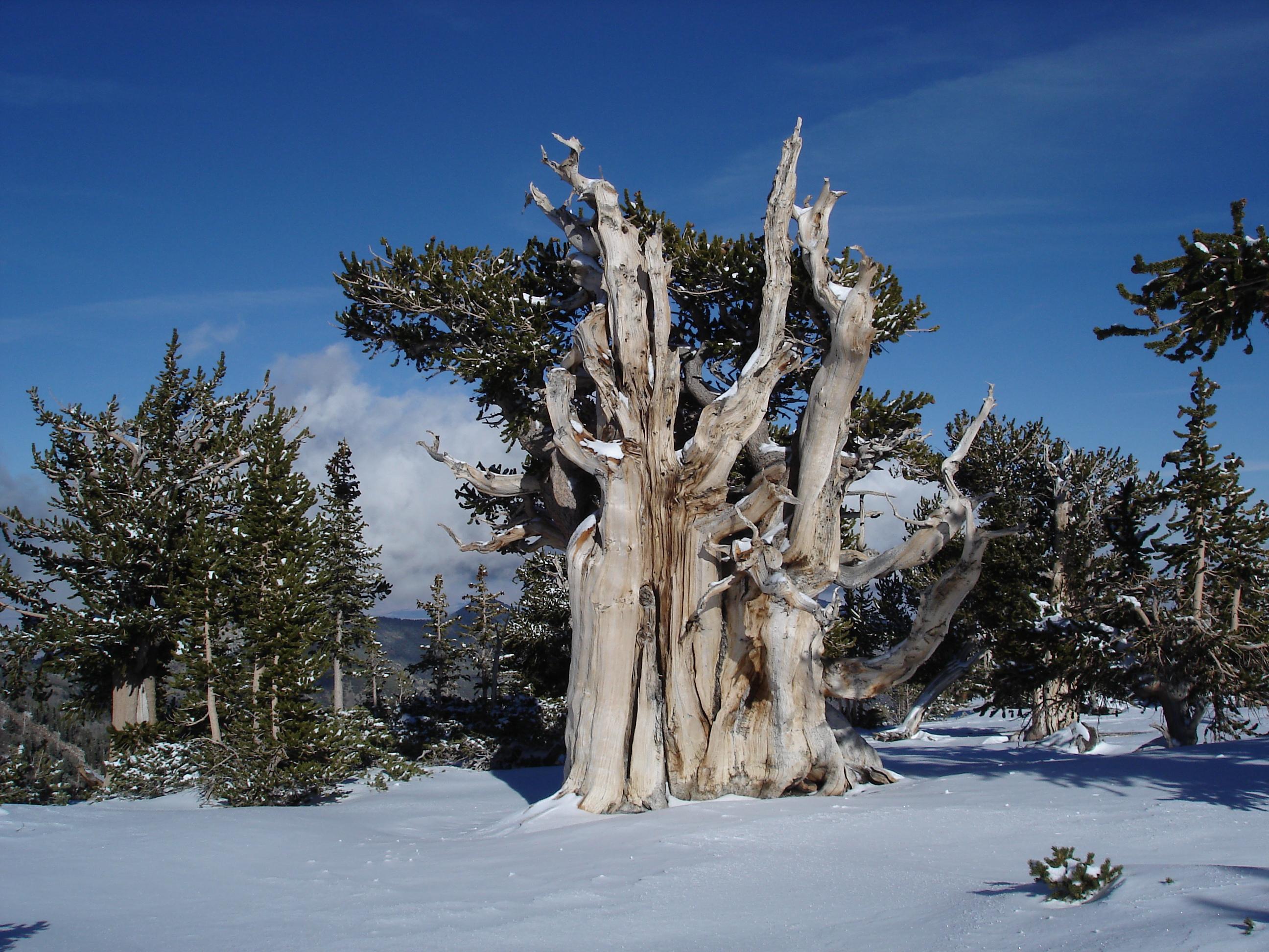 File pinus longaeva in snow great basin np 1 jpg wikimedia commons