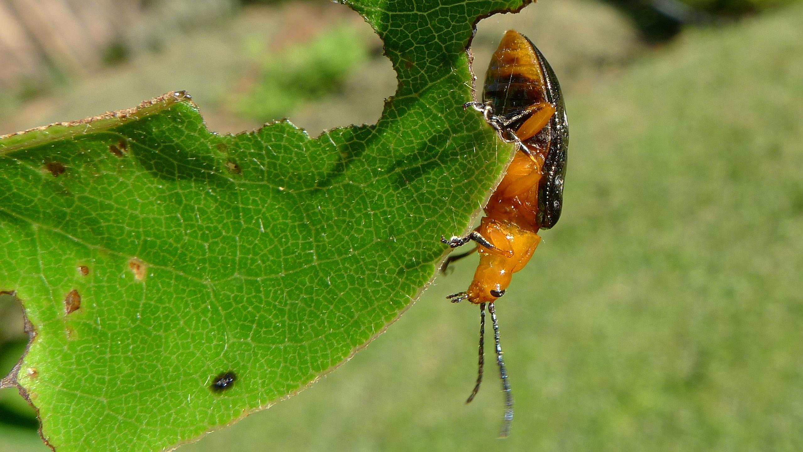 file pittosporum beetle belly 8691885449 jpg wikimedia commons