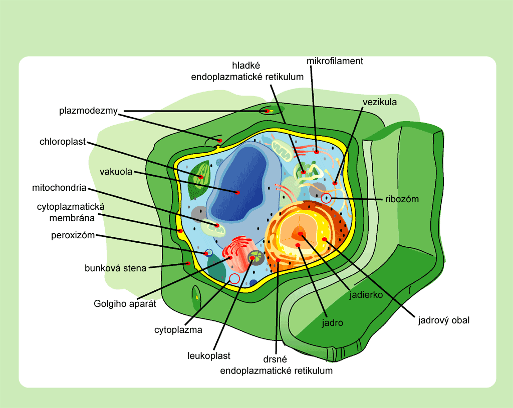 File:Plant cell structure sk.png - Wikimedia Commons