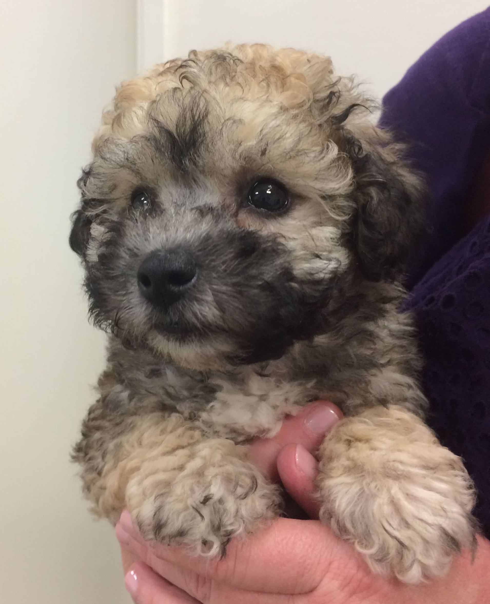 Image Result For Toy Poodle Puppies