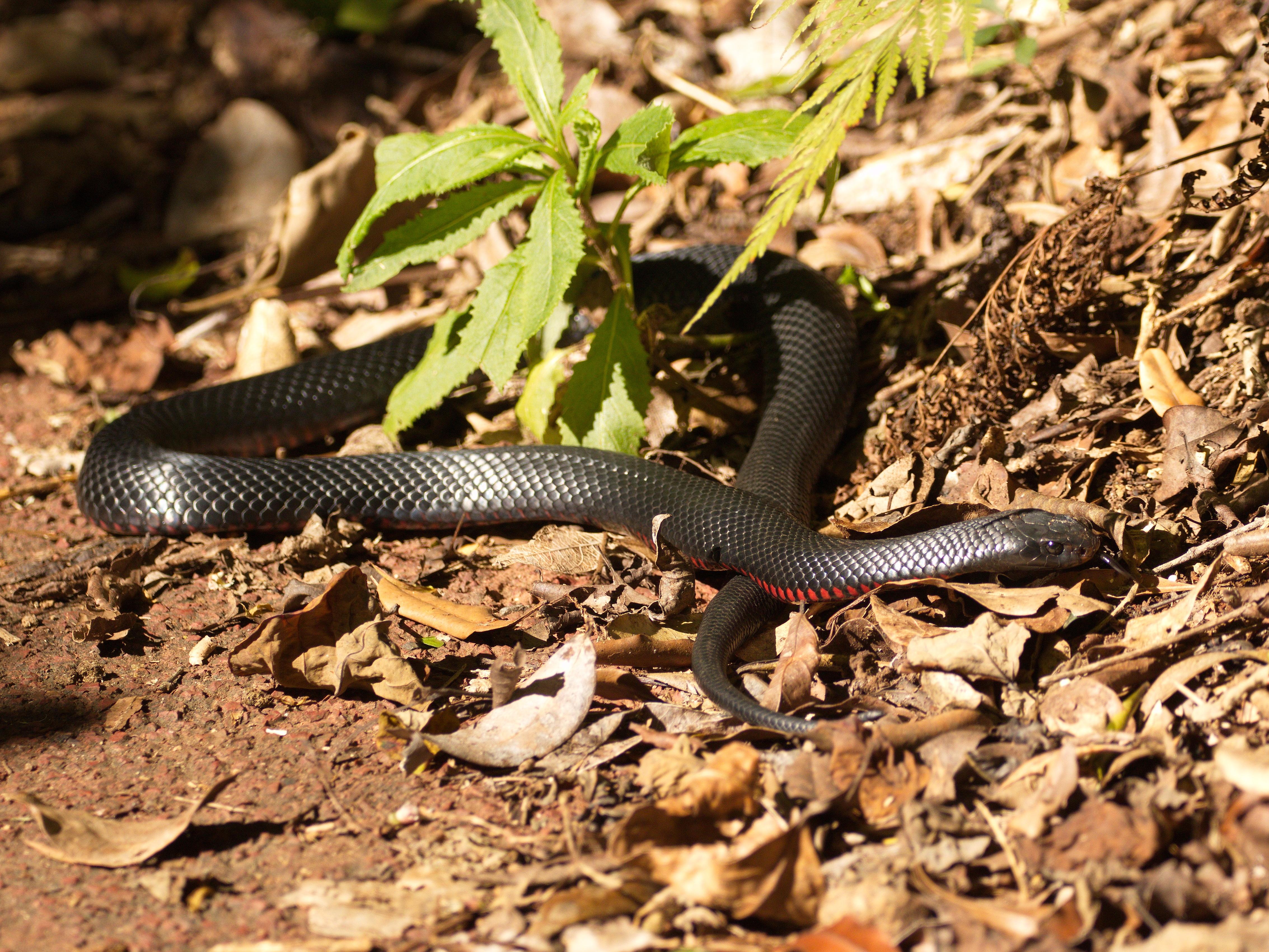 Red Bellied Black Snake Wikipedia