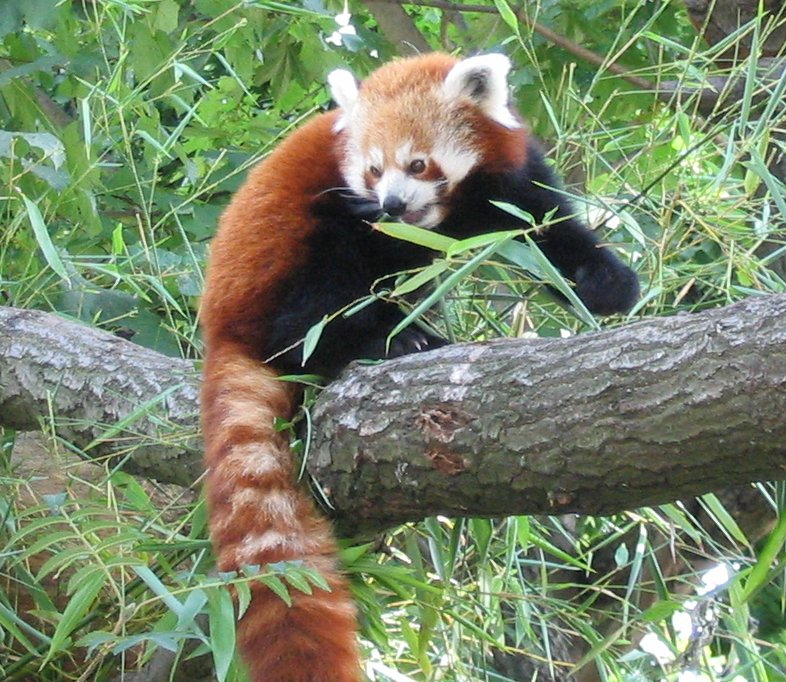 red panda wiktionary. Black Bedroom Furniture Sets. Home Design Ideas