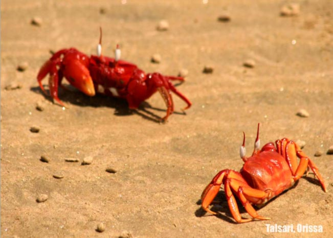 Red crabs - Beaches In India