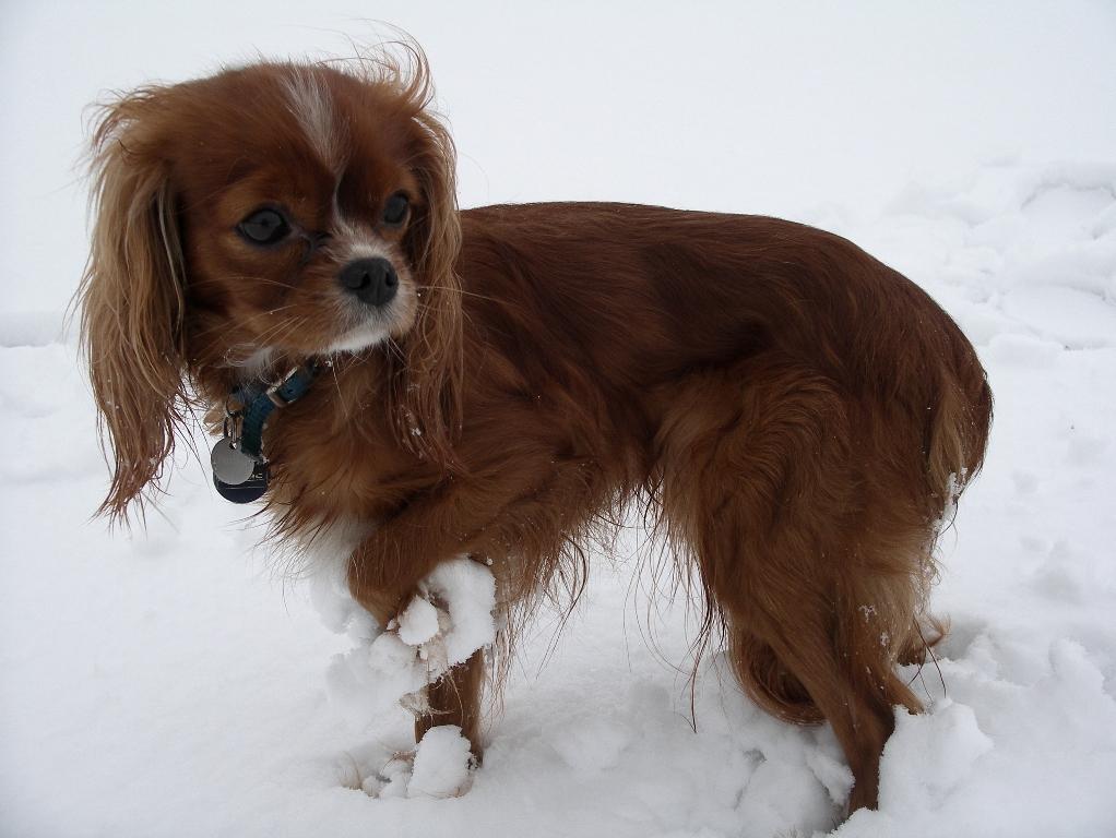 Cavalier King Charles Spaniel Puppy Ruby