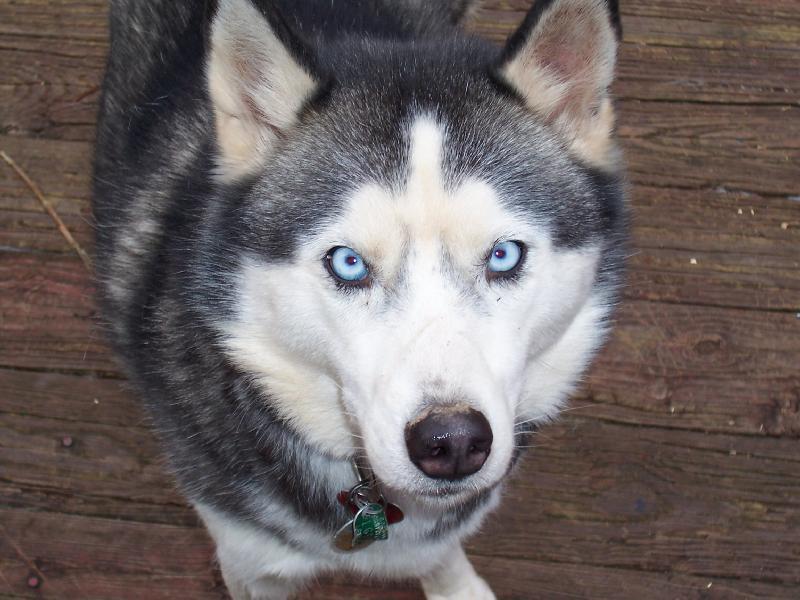 File:Siberian Husky blue-eyed.jpg - Wikipedia