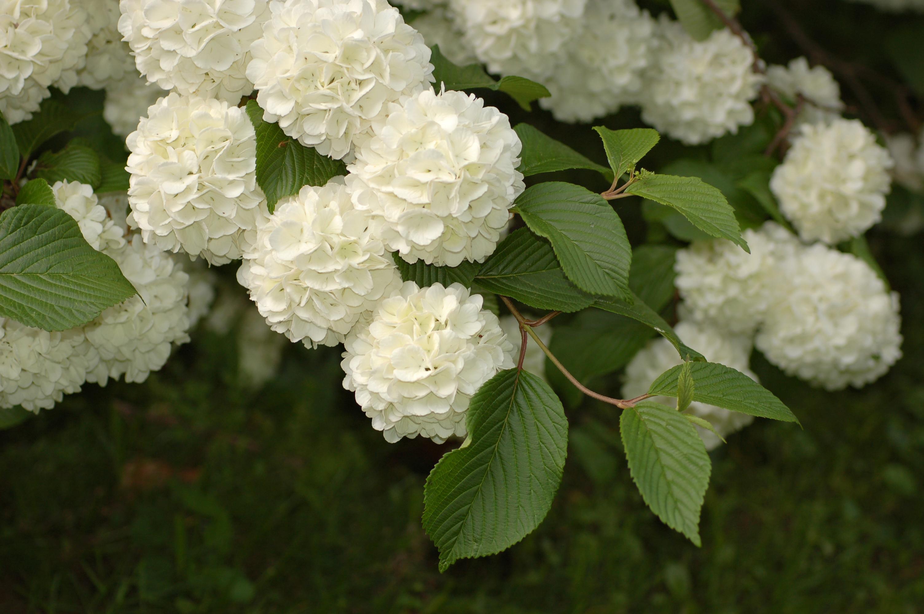 Filesnowball Viburnum Viburnum Plicatum Flowers 2g Wikimedia
