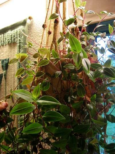 File:Tradescantia albiflora.jpg