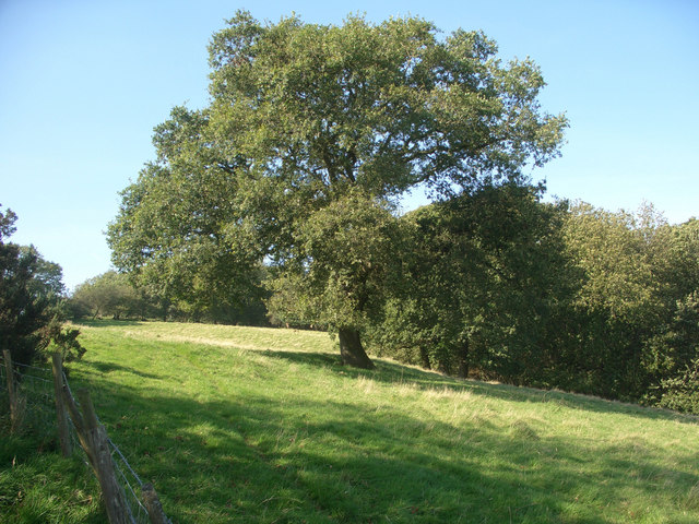 Tree adjacent to Coedpentwyn - geograph.org.uk - 980648