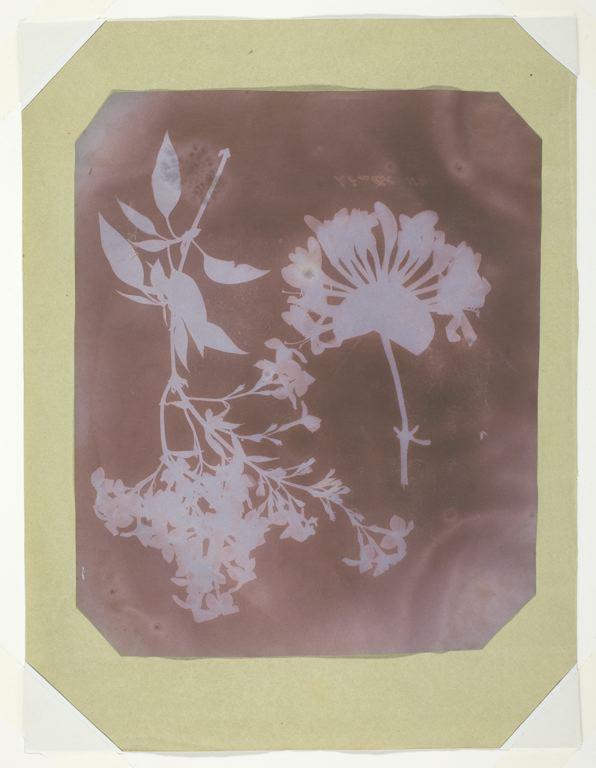 Description William Henry Fox Talbot Two Plant Specimens, 1839.jpg
