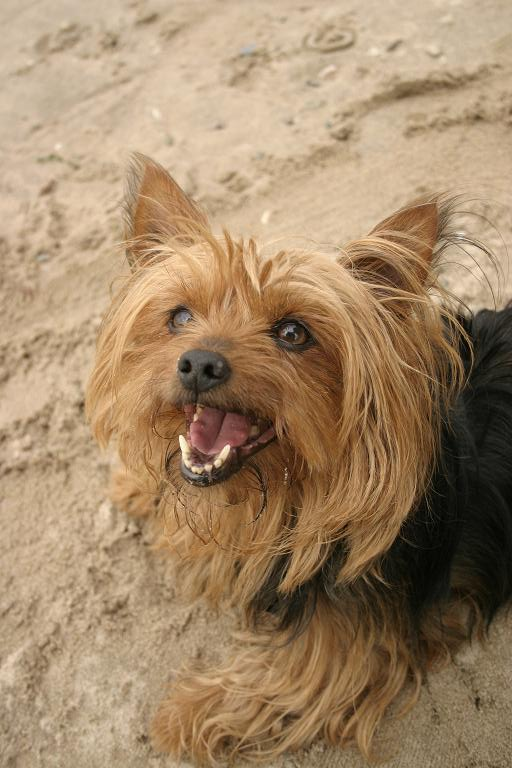 Where Did This Yorkie's Tooth Go? Oh my gosh is that a Yorkie in the picture
