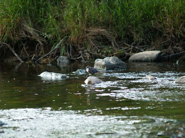 File:Young dipper on River Breamish - geograph.org.uk - 220396.jpg