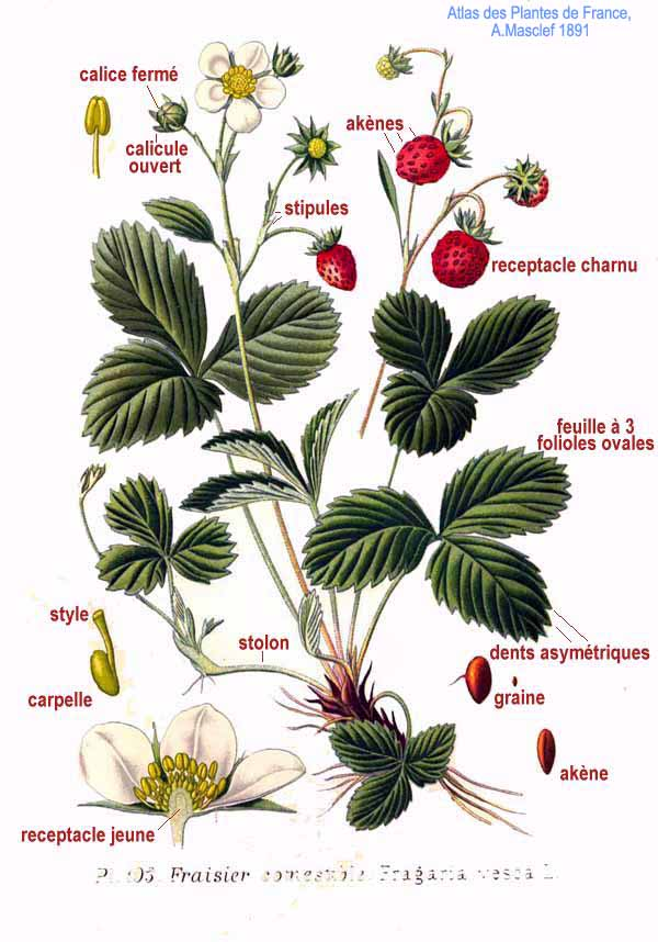 Fragaria wikiwand fragaria mightylinksfo