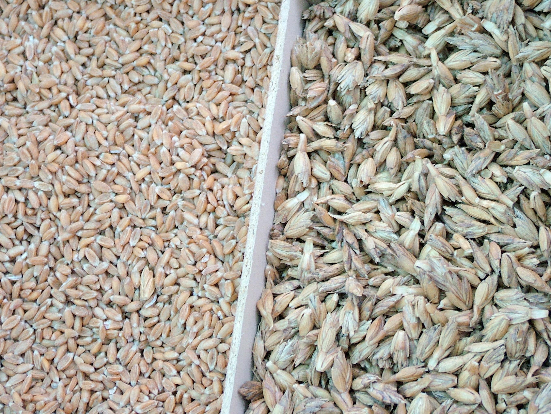pšeničná múka špalda - základ zdravej výživy
