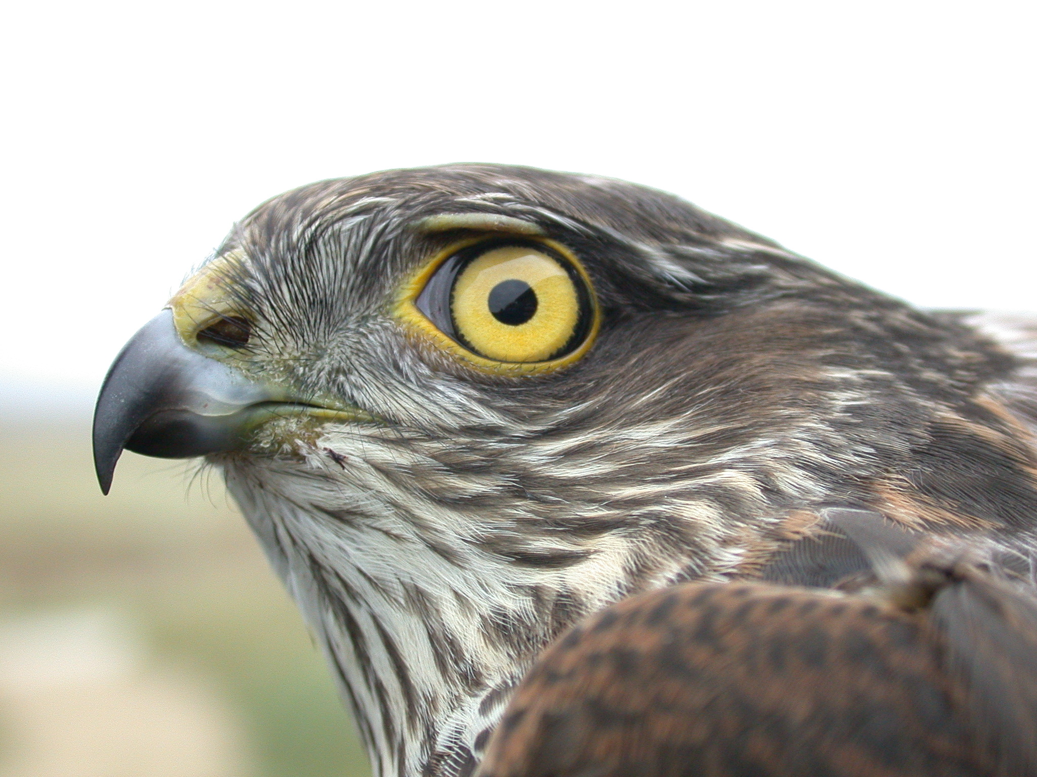 England Bird Ringing Lisence