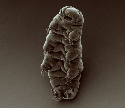 Scanning electron micrograph of an adult tardigrade (water bear). By Goldstein lab - tardigrades (originally posted to Flickr as water bear) [CC BY-SA 2.0 (http://creativecommons.org/licenses/by-sa/2.0)], via Wikimedia Commons