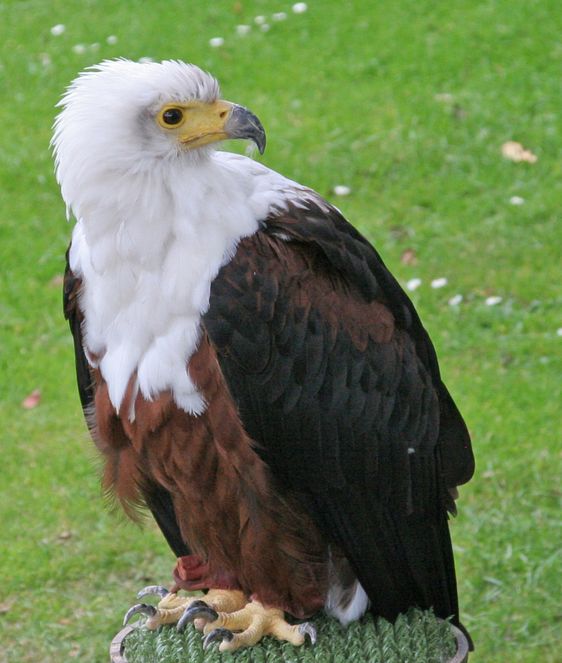 File:African Fish Eagle (2693015624).jpg - Wikimedia Commons
