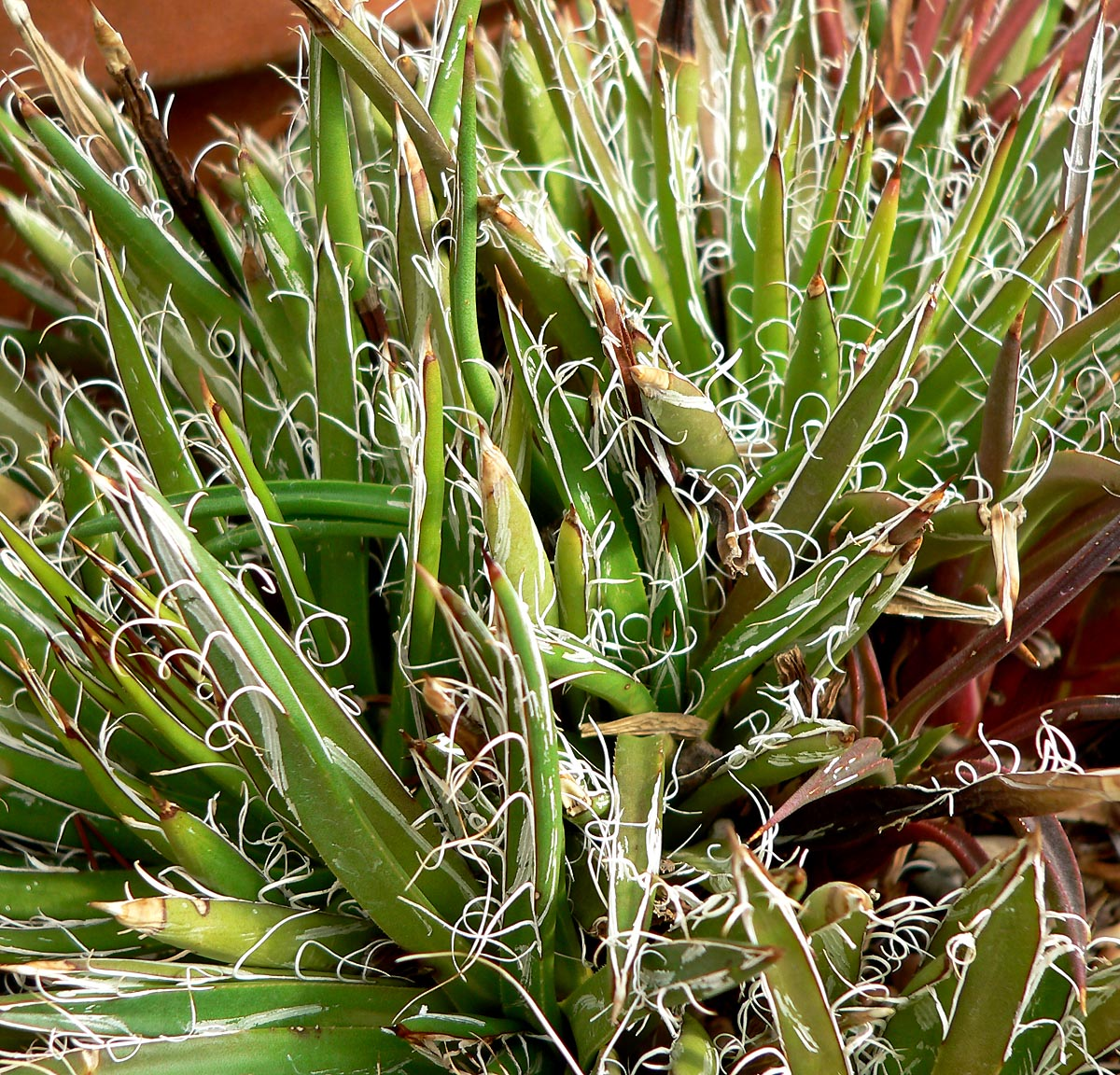 Agave Parviflora Wikipedia