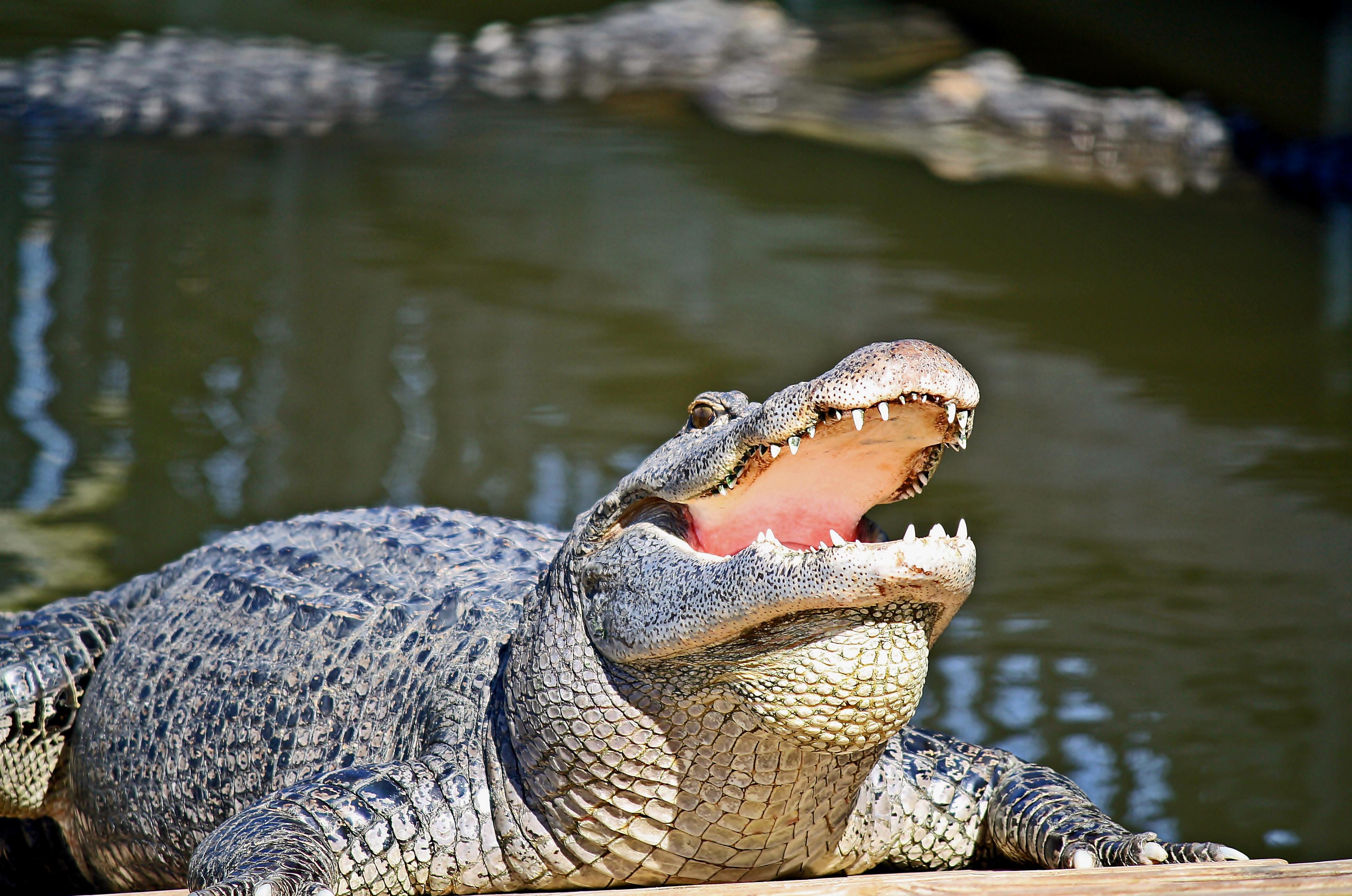 Alligator at the Gatorland.jpg