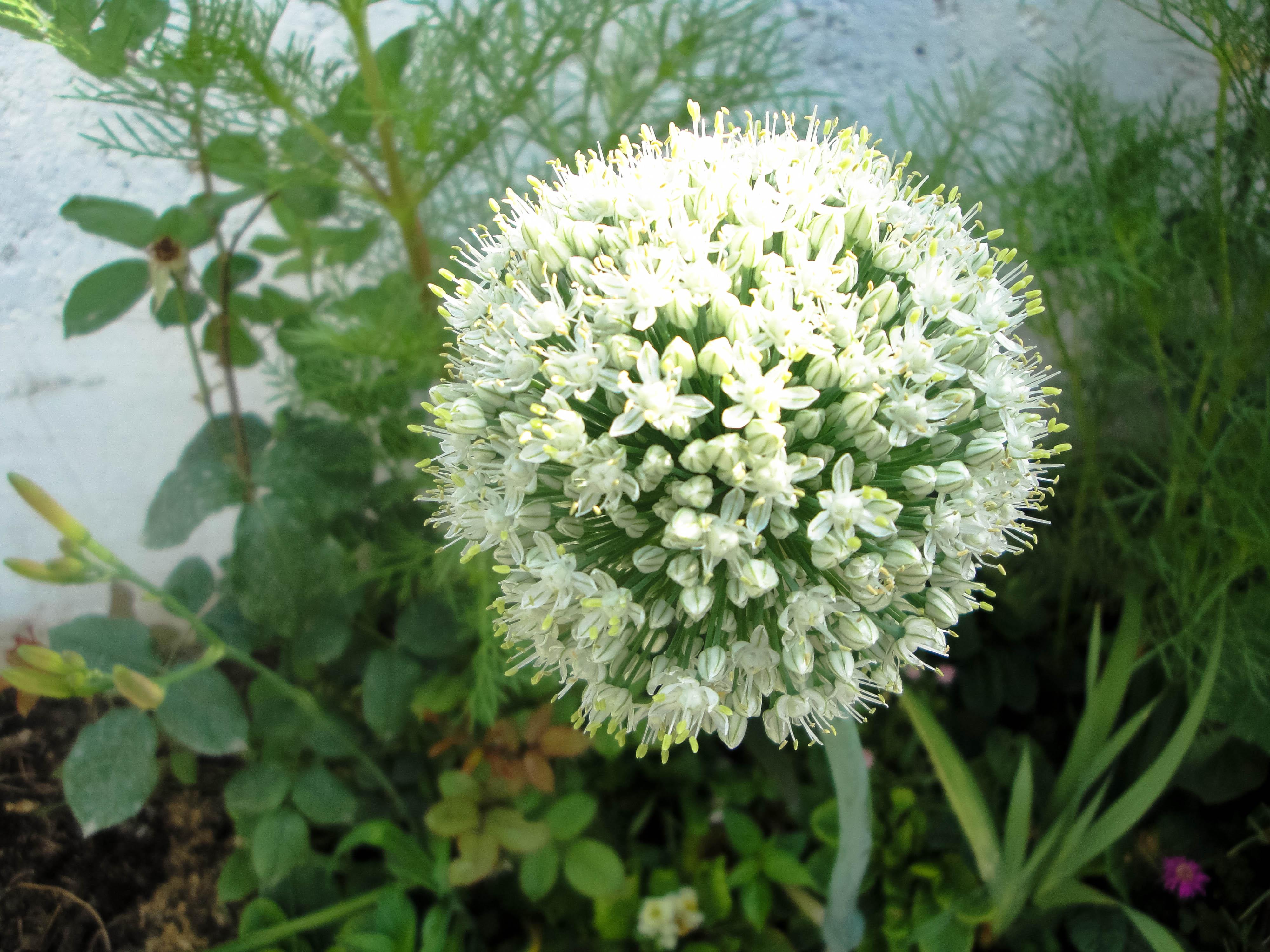 File Allium Cepa  Amol Jpg