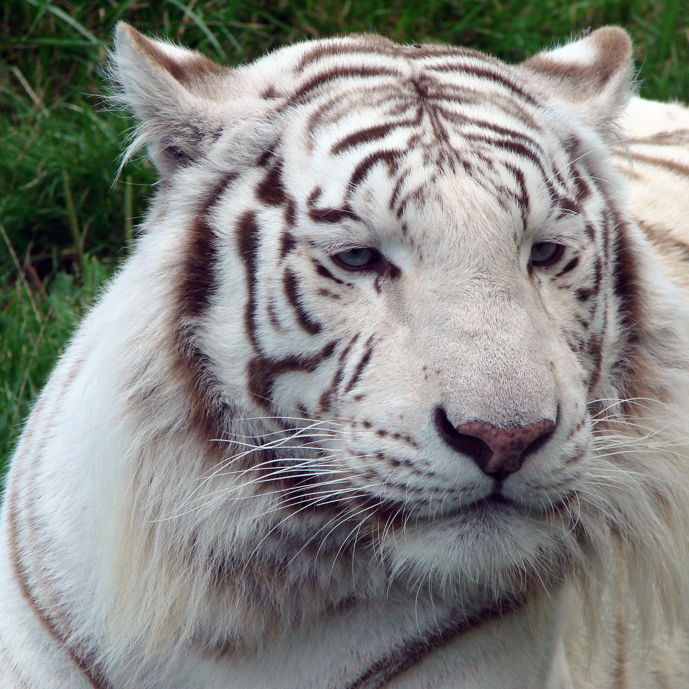 Are Tigers Dogs Or Cats