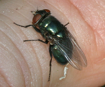 Phormia regina - Wikipedia