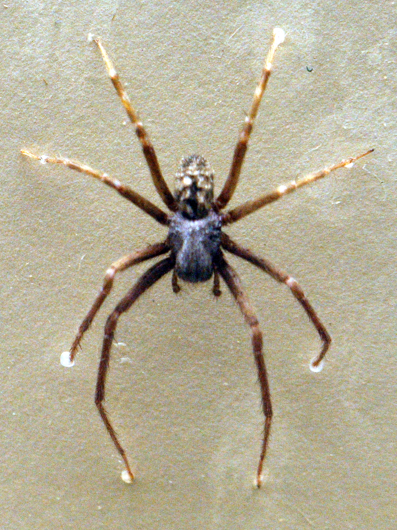 Black house spider Wikiwand
