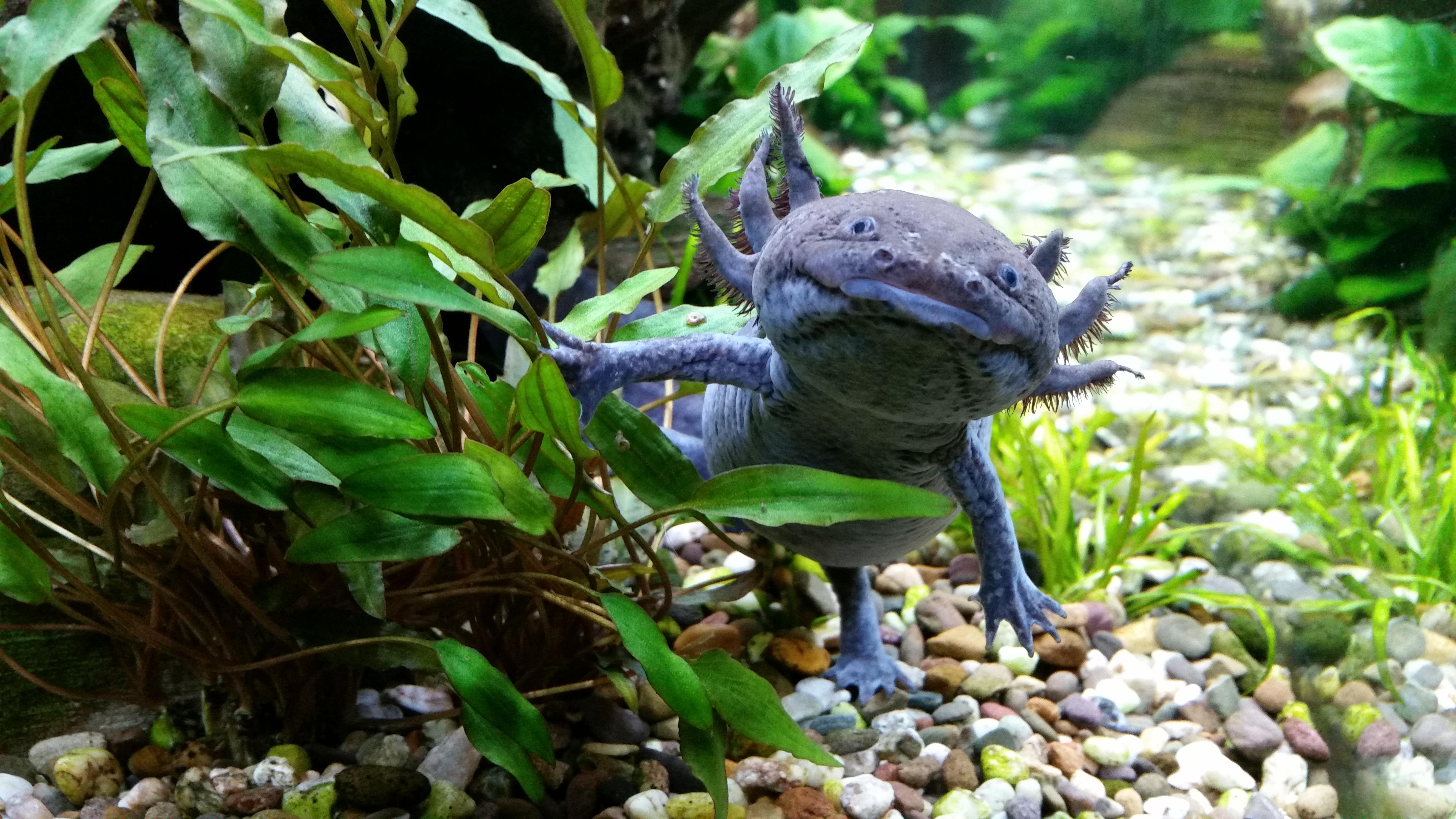 Axolotl - Wikiwand