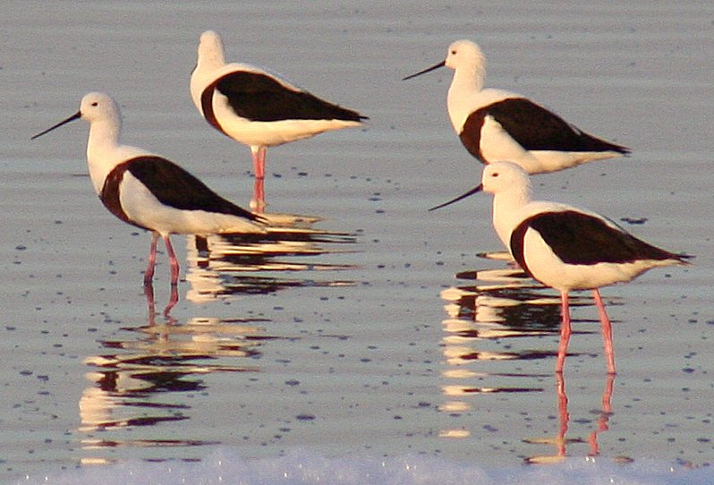 http://upload.wikimedia.org/wikipedia/commons/0/03/Banded_stilts_2_Governors_Lake_Rotto_email.jpg