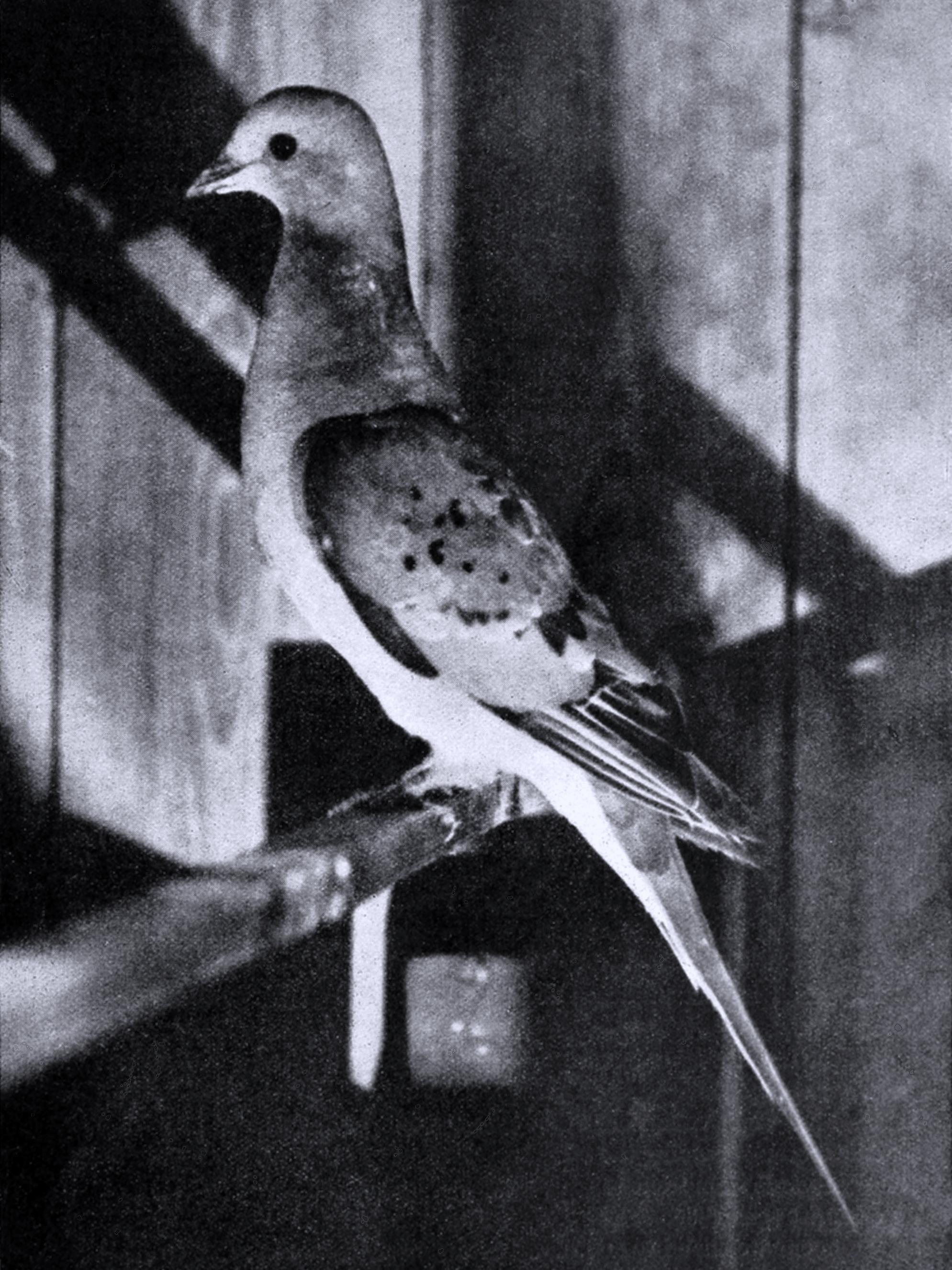 Pigeon English Pdf