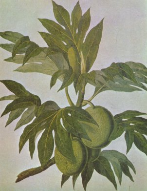 File:Breadfruit drawing.jpg