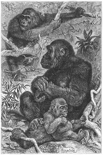 File:Brehms Het Leven der Dieren Zoogdieren Orde 1 Gorilla (Gorilla gina).jpg